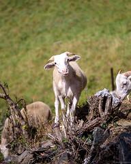La brebis du Val d'Aran