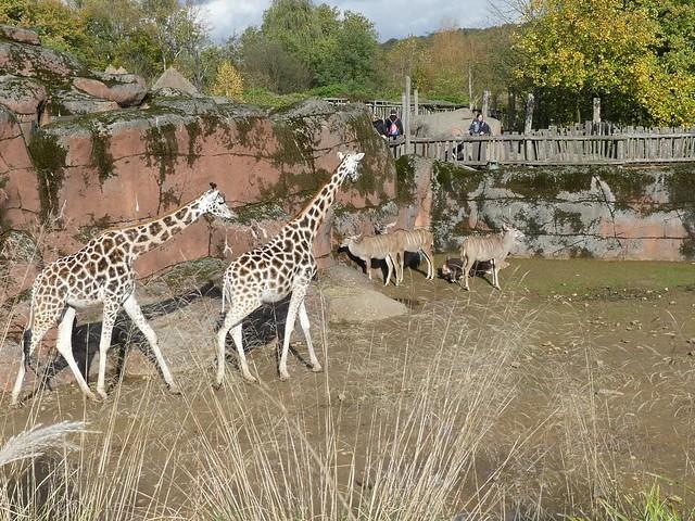 Rothschildgiraffe und Großer Kudu, GaiaZOO