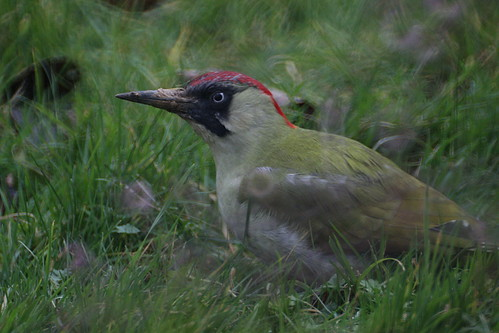 Woodpecker in my garden