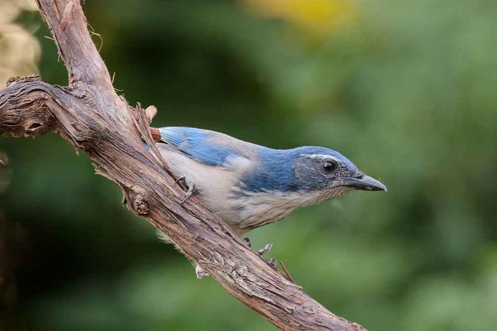 A California scrub-jay perches on a grape vine in a backyard in Portland, Oregon