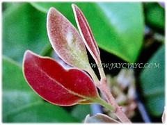 Mesmerising reddish young leaves of Dendrophthoe pentandra (Malayan Mistletoe, Mango Mistletoe, Mistletoe Plant), 28 Jan 2018