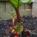 Rhubarb:  41/365