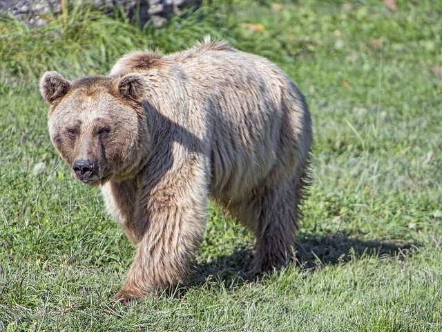A bear walking in the grass