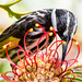 White Cheeked Honeyeater2