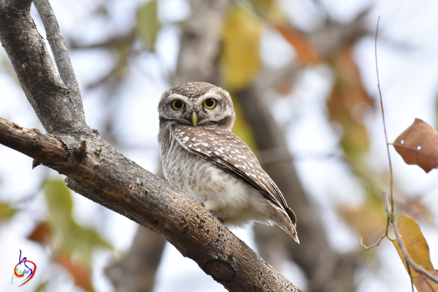 Spotted_Owlet_3836