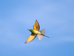 Green Bee Eater in flight