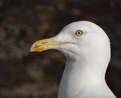 European herring gull portrait