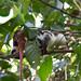 Phalangeridae: Spilocuscus papuensis (Waigeo Cuscus) 2