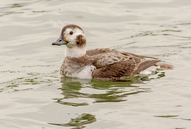 JWL8951  Long tailed Duck..