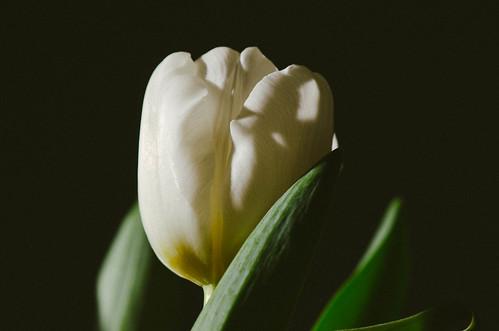 017 Tulip Time 1
