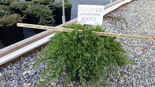 Juniper Procumbens Nana 3 gal 15-18 | by Johnson Farms