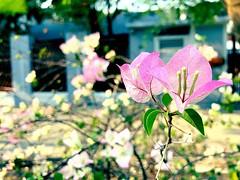 Delicate petals #bangkok #urbanhike