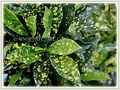 'Variegata', a cultivar of Aucuba japonica (Spotted Laurel, Japanese Laurel, Japanese Aucuba, Gold Dust Plant) with variegated leaves dotted with yellow spots, 23 Jan 2018