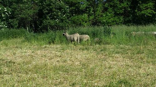20170601 05 034 Regia Wald Wiese Schafe
