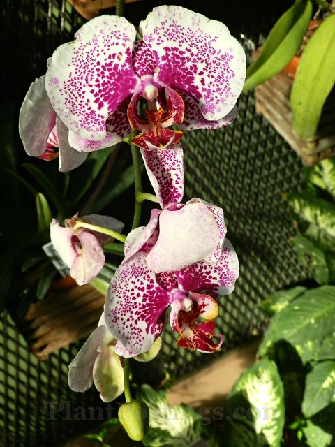 orchid phal 2