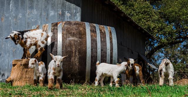 Goats 2-27-18-3123
