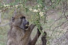 Chacma baboon - Babouin