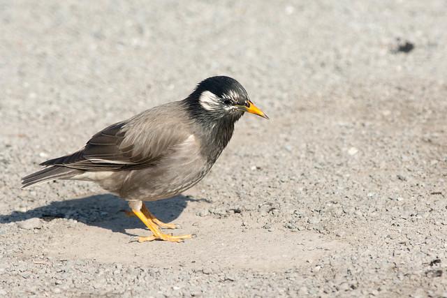 White Cheeked Starling at Ueno Park