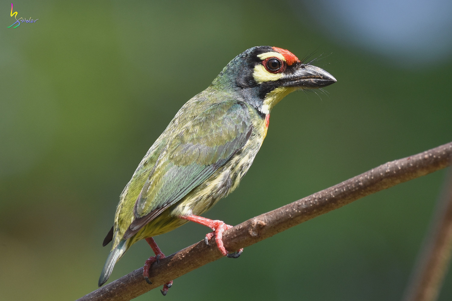 Coppersmith_Barbet_5045
