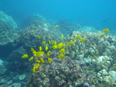 yellow tang_3, Honaunau Bay_10272015