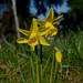 Daffodil Trio