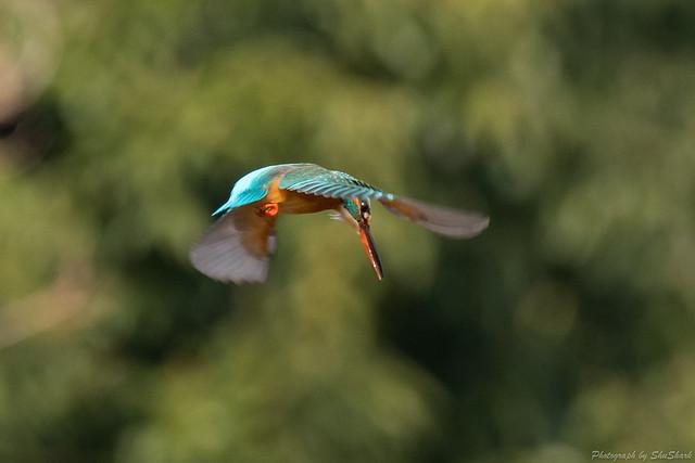 20180203-kingfisher-DSC_7012
