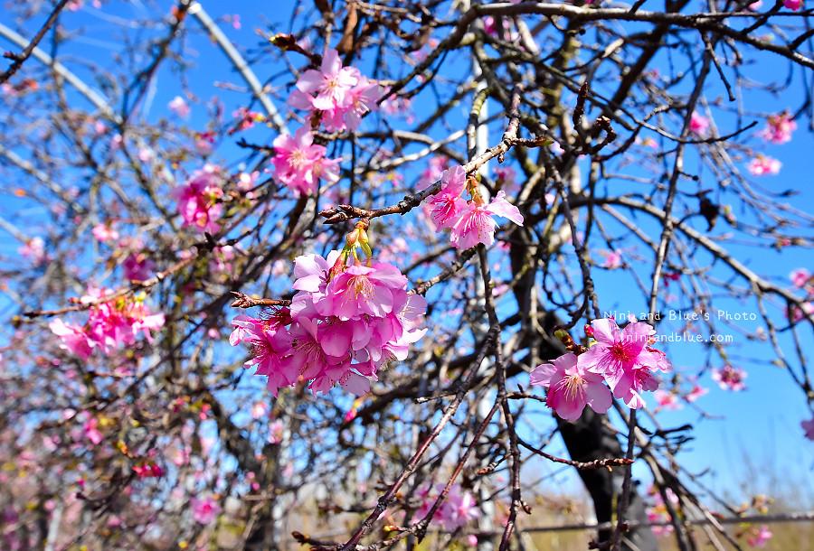 芬園花卉休憩園區-櫻花園區201801
