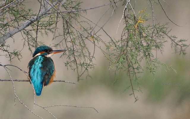 Martino, dopo il pranzo - Kingfisher, after lunch