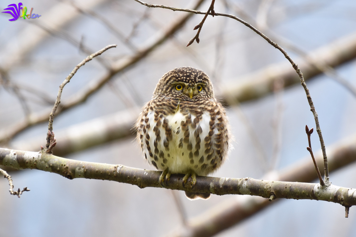 Collared_Owlet_5697