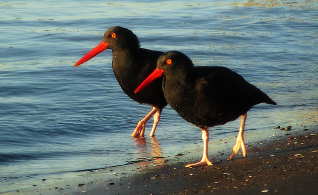 A pair of oystercatchers