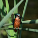 Kingfisher perched on reed