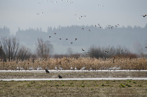Skagit Water Birds