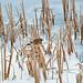 Robin on frozen pond : Explored