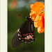 Papilio anchisiades - Ruby-spotted Swallowtail por J. Amorin