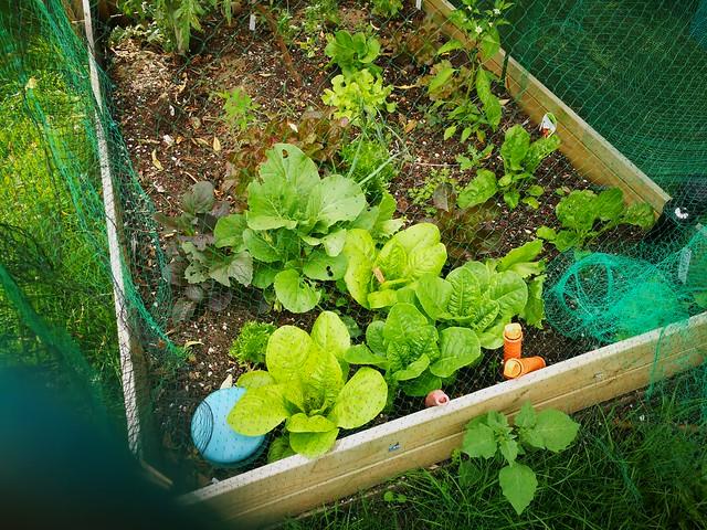 cos lettuces