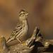 Pardal-francês / Rock Sparrow / Gorrión Chillón
