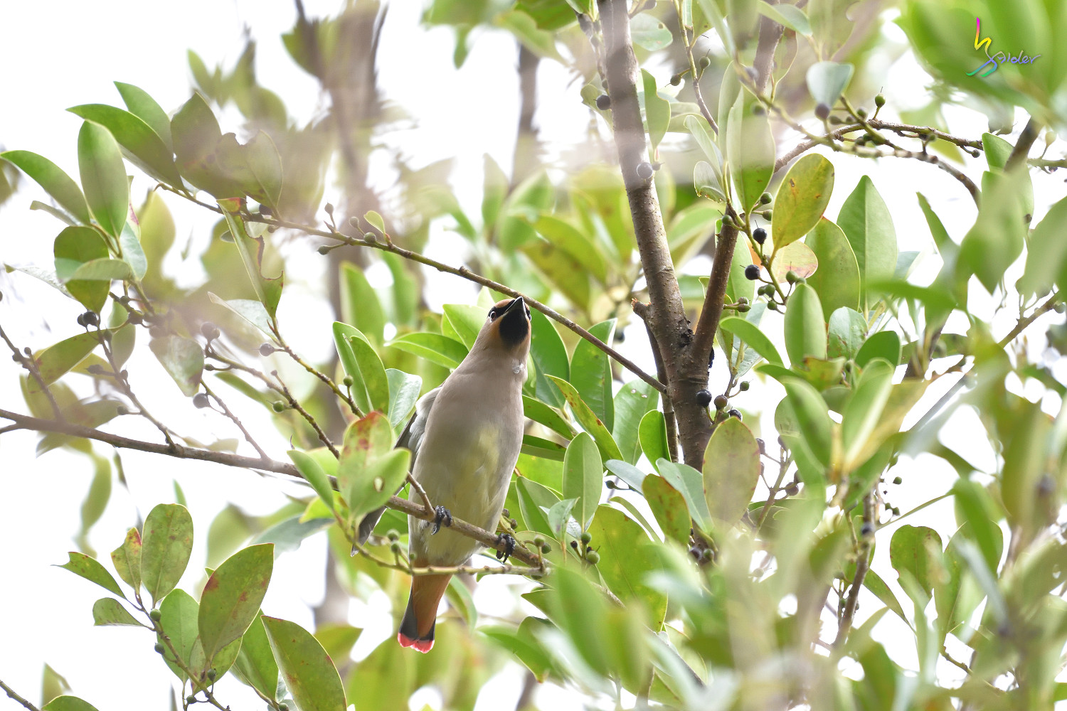 Japanese_Waxwing_7527