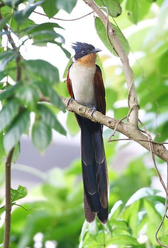 chestnutwingedcuckoo clamatorcoromandus redwingedcrestedcuckoo