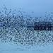 365 - Image 12 - Starling murmurations, Brighton... by Gary Neville