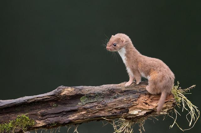 Weasel (Mustela nivalis)