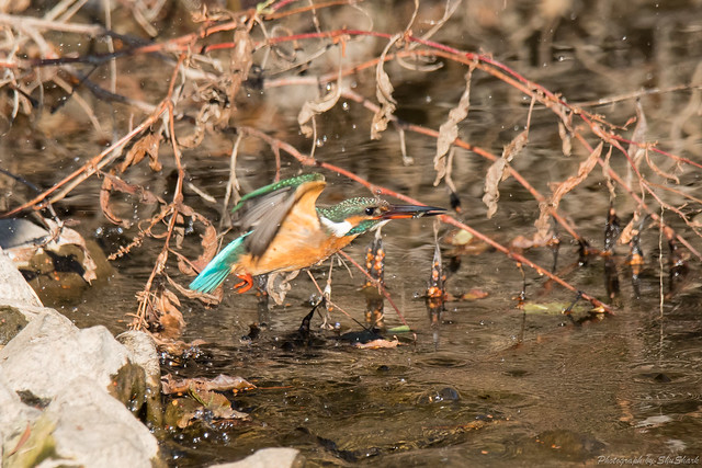 20180113-kingfisher-DSC_3773