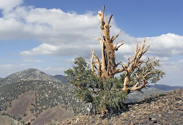 Bristlecone Pine (Pinus longaeva)