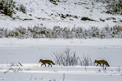 Räven raskar över isen