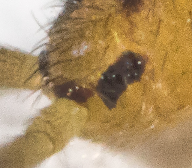 Isotoma viridis - Ocelli