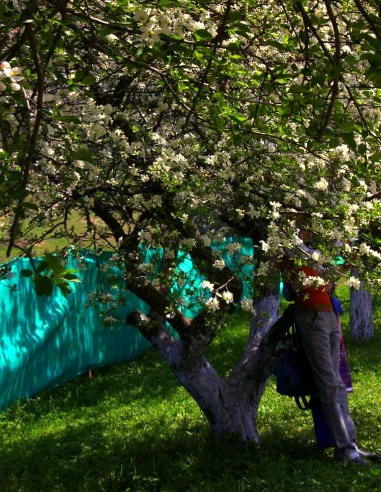 Romantic couple underneath almond trees in srinagar