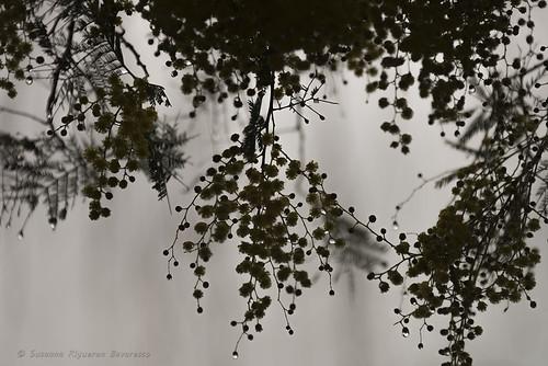 Le lacrime di Mimosa (Mimosa's tears)