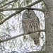Barred Owl by KvonK