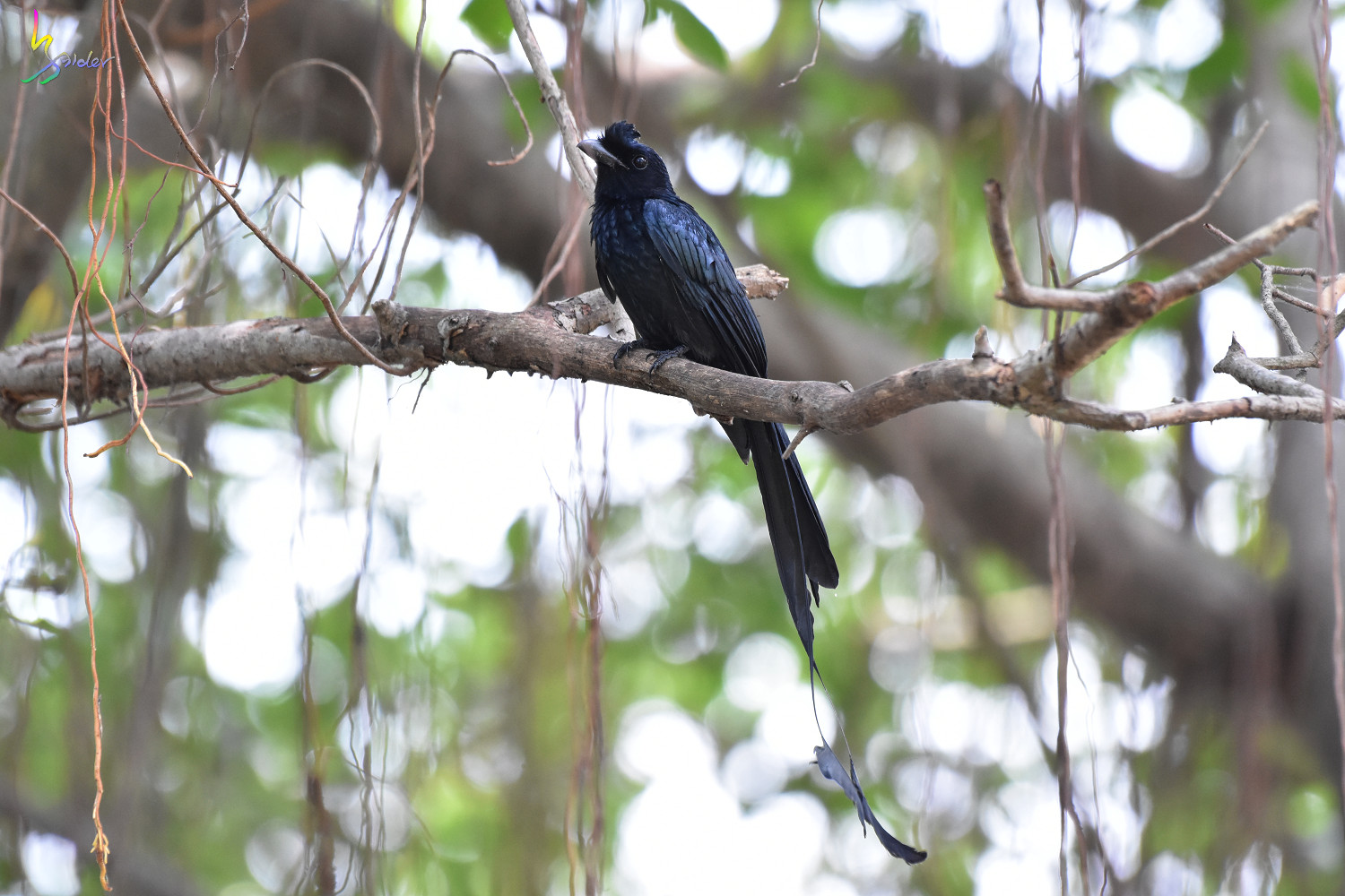 Greater_Racket-tailed_Drongo_4222