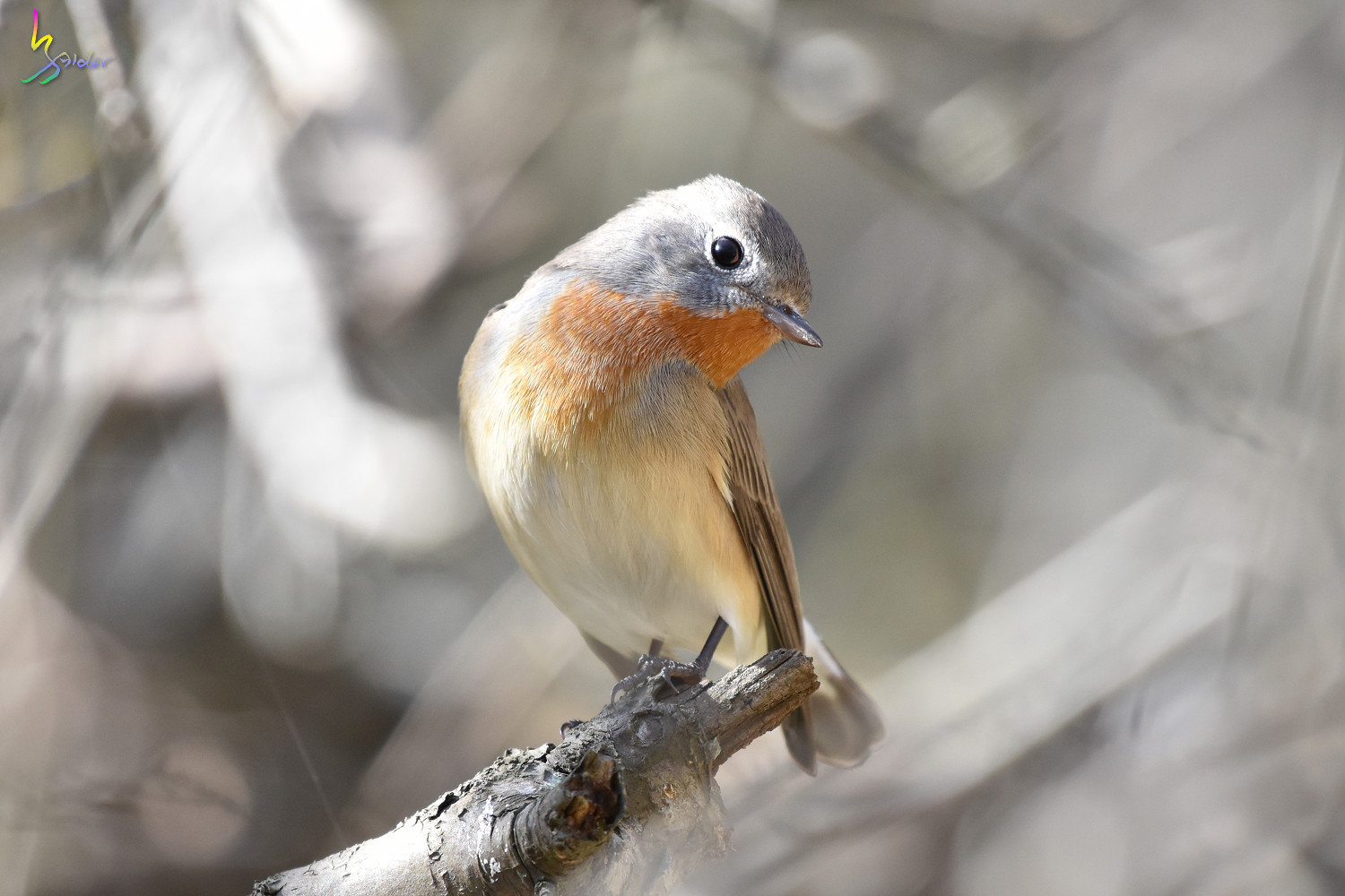 Red-breasted_Flycatcher_6625