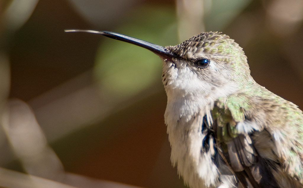 Humming Bird_6